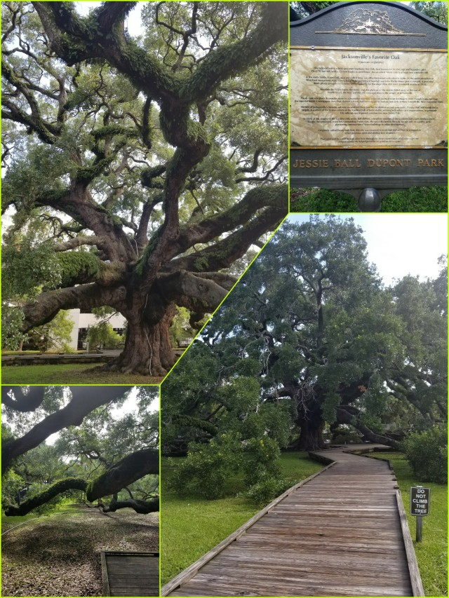 Treaty Oak Jacksonville